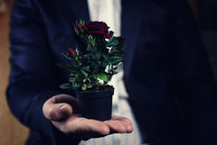 Rose in a pot man hold in hand Stock Photos