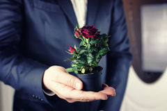 Rose in a pot man hold in hand Stock Image