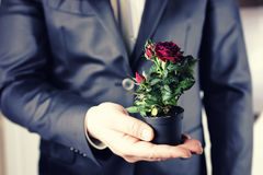 Rose in a pot man hold in hand Royalty Free Stock Photo