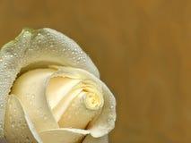 Rose pour un fond. Photographie stock