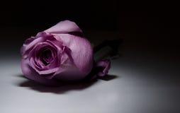 Rose pourprée Image stock