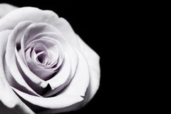 Rose pourprée blanche Image stock