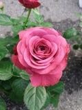 Rose pourpre rose Images libres de droits