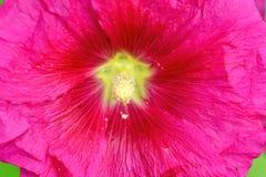 Rose pourpre de fleur d'usine de fleur de fleur de Cranesbill photos stock