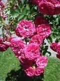 Rose precipitanti a cascata rosa scure Fotografia Stock
