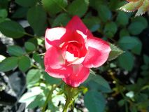Rose - Flower Stock Images