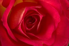 Rose (Pride of Kenya) Stock Photography