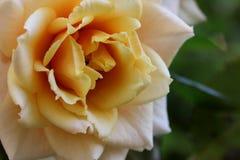 Rose - primer Imagen de archivo libre de regalías