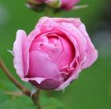 Rose Princess Claire lizenzfreie stockfotografie