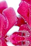 rose proche de fleur vers le haut Images libres de droits