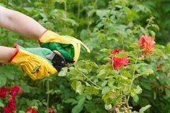Rose pruning Royalty Free Stock Photo