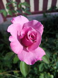Rose purple. Beautiful season flower Thailand Asia nature plant plants panicle convey Beauty. Nature. The industry. Plants. Conventional crops. Decor. The royalty free stock image