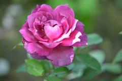 rose purpurowy Fotografia Stock