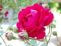 rose purpurowy Zdjęcie Stock
