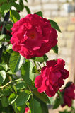Rose que sube Imágenes de archivo libres de regalías