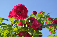 Rose que sube Fotos de archivo