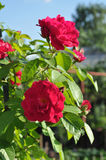 Rose que sube Foto de archivo
