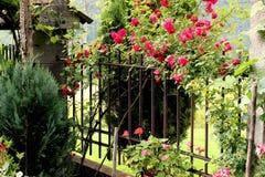 Rose que sube Imagen de archivo libre de regalías