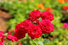 Rose. The rose is queen flowers and symbol valentine`s day Stock Photo