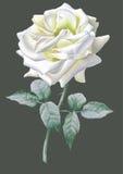 Rose réaliste de blanc watercolor Photographie stock