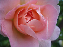 rose różowego mokra Zdjęcie Royalty Free
