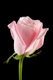 rose różowego samotna Obraz Stock