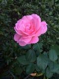 rose różowego samotna Obrazy Stock