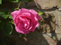 rose różowego samotna Zdjęcia Stock