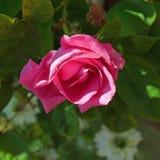 rose różowego samotna Obrazy Royalty Free