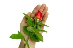 rose ręka Fotografia Stock