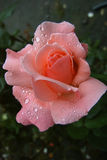 Rose in the rain. Pink rose photographed after the rain - with rain drops on the petals Royalty Free Stock Images