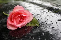 A rose in the rain. A pink rose is on the background with water droplets Stock Images