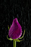 Rose in the rain. Single Purple rose in the rain Stock Photography