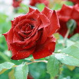 Rose after rain. Royalty Free Stock Photography
