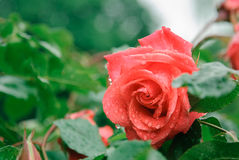 Rose in the rain Royalty Free Stock Photos