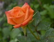 Rose after the rain Stock Photos
