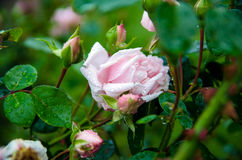 Rose after rain. Bush with pink roses after rain Stock Photos