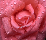 Rose and rain Stock Image