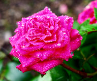 Rose after rain Royalty Free Stock Images
