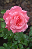 Rose after the rain. Petals covered by small drops of water Stock Photos
