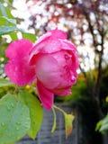 Rose and Rain Stock Photos