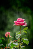 Rose in the Rain. Pink rose in the rain with blur green background Royalty Free Stock Photography