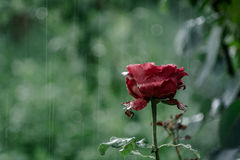 Rose in the Rain. Red rose in the rain with blur green background Stock Image