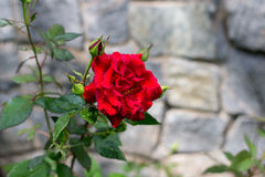 Rose after rain. Red rose after rain dewdrops royalty free stock image