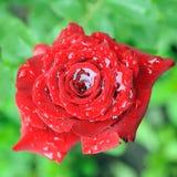 Rose after rain Stock Photo