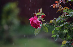 Rose in rain. Red rose in rainy weather Royalty Free Stock Images
