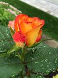 Rose after the Rain Royalty Free Stock Photography