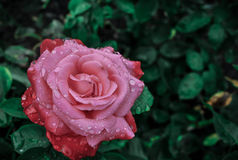 Rose after rain storm Stock Images
