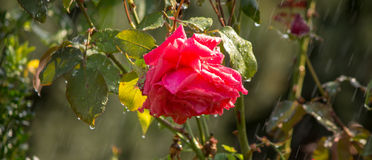Rose in the rain. On a summer day Stock Images