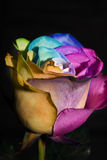 Rose Rainbow Royalty Free Stock Photography